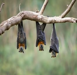 Temporary flying-fox camp in South Grafton